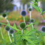 milk-thistle-is-rich-2772999_1280