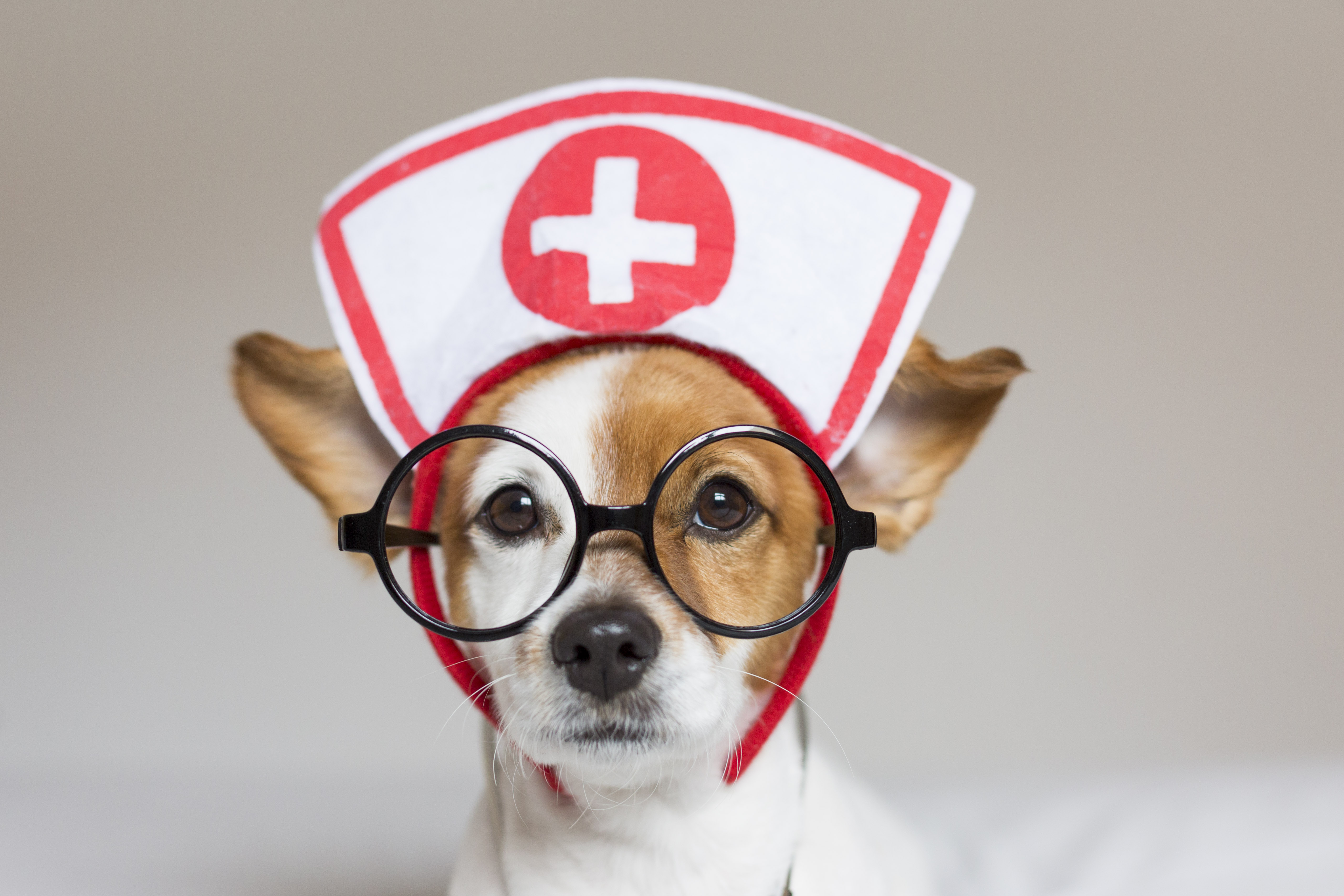 Portrait of a cute young small dog sitting on bed. Wearing stethoscope and glasses. He looks like a doctor or a vet. Home, indoors or studio. White background.